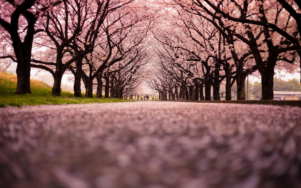 又到樱花时 到日本感受一场纷飞樱花雨