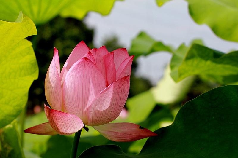 異龍湖上夏生活:在荷香中穿行